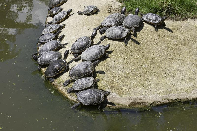 Many small turtles making sun bath on sand. Near the water stock photos