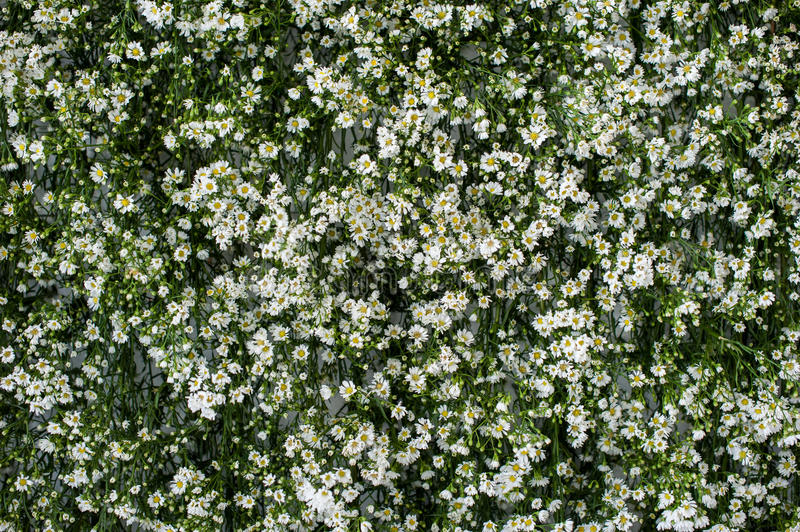 Many small white flower on green background. Green background and small white flowers, Gerdenia Crape Jasmine with green leaves wall background and textured stock images