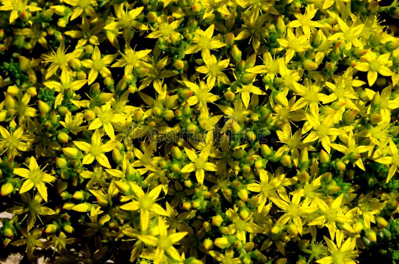 Many small yellow field flowers are acrid. A lot of small yellow wildflowers clear acrid closeup royalty free stock photo
