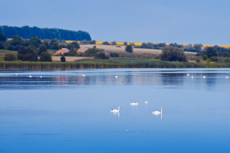 White swans swim in a big natural lake, countryside area of a small village, late, quiet summer evening after sunset royalty free stock photos