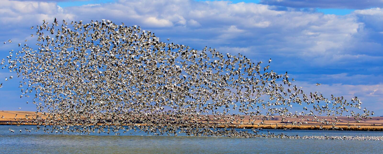Many Snowgeese Taking Off From A Lake. This image shows many snowgeese lifting off (taking flight) from a lake in the Freezeout Lakes Waterfowl Management Area royalty free stock photo
