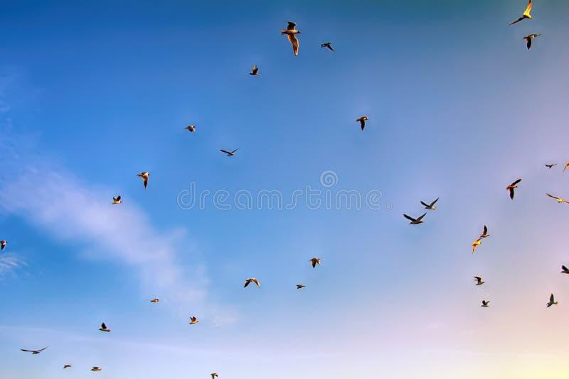 Many soaring birds while blue sky. Many soaring birds illuminated by the sunset while blue sky. Black-headed gull (Larus ridibundus stock photography