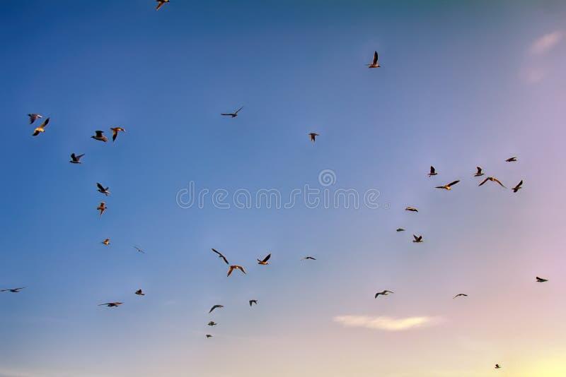 Many soaring birds while blue sky. Many soaring birds illuminated by the sunset while blue sky. Black-headed gull (Larus ridibundus stock images