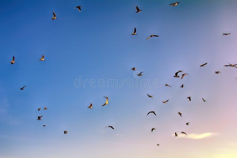 Many soaring birds while blue sky. Many soaring birds illuminated by the sunset while blue sky. Black-headed gull (Larus ridibundus stock photo