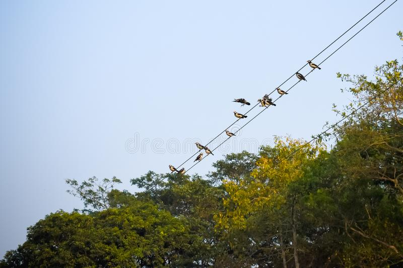 Many Sparrows or family of small passerine birds also known as true sparrows, Old World sparrow birds sitting on an electric cable stock photography