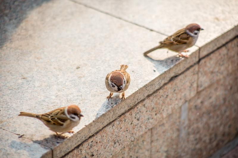 Many sparrows in foraging stock photos