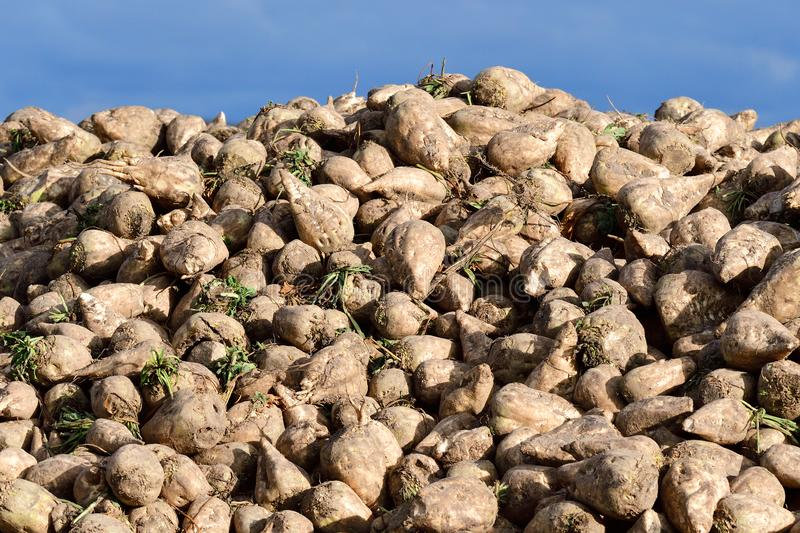 Many Sugar beet on a field stock photography