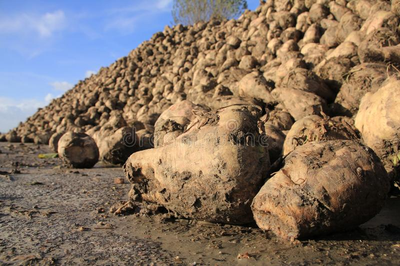Many sugar beets on a heap. royalty free stock photography