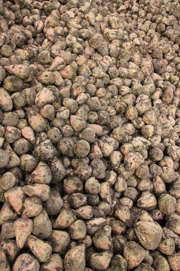 Many sugar beets on a heap. royalty free stock photos