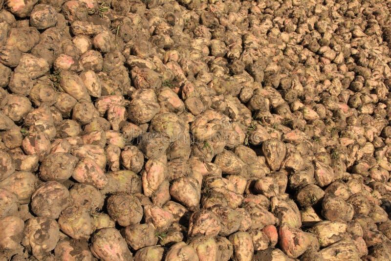 Many sugar beets on a heap. royalty free stock photo