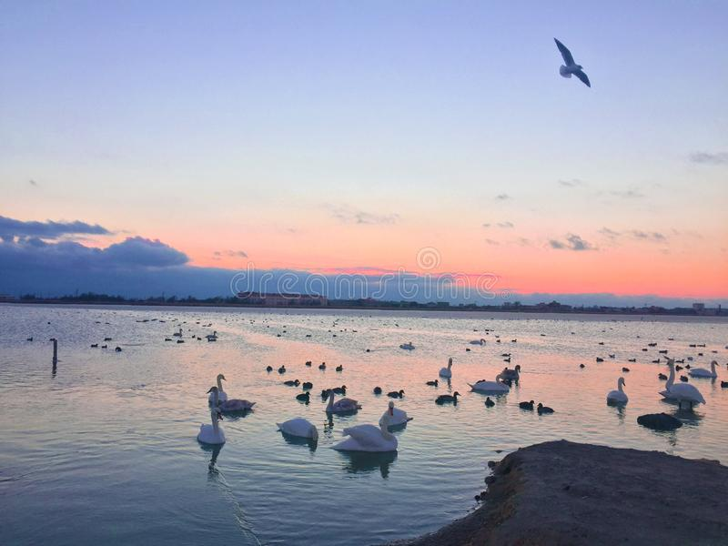 Many swans in the lake. a flock of swans scrambling over food on a river. In the lake swans Swan parents and their royalty free stock photo