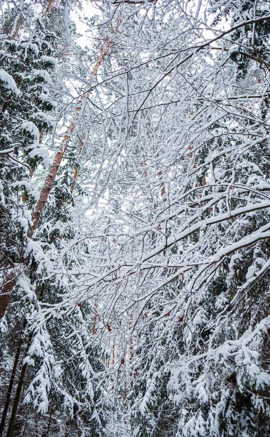 Many thin twigs covered with white snow. Beautiful winter snowy forest. Vertical image in blue tone. Many thin twigs covered with fluffy white snow. Beautiful royalty free stock image
