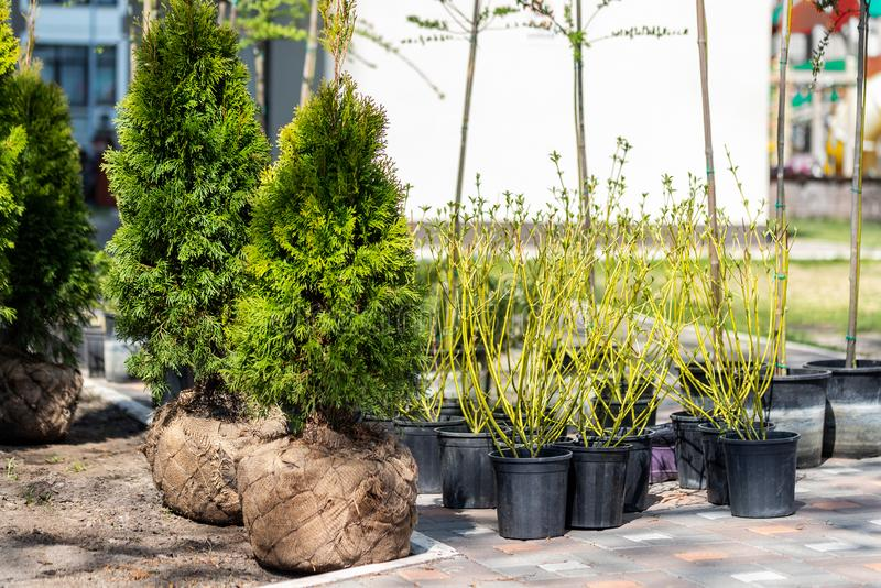 Many thujas tree with burlapped root ball prepared for planting in city park or residential building backyard. Lot of different. Pots with dogwood and juniper stock image