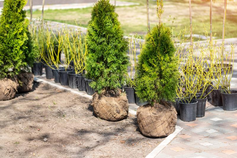 Many thujas tree with burlapped root ball prepared for planting in city park or residential building backyard. Lot of different. Pots with dogwood and juniper royalty free stock image