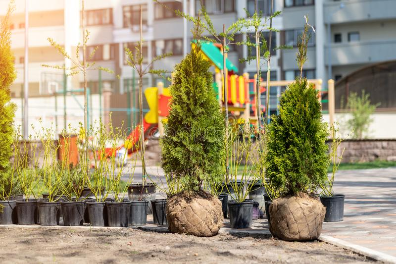 Many thujas tree with burlapped root ball prepared for planting in city park or residential building backyard. Lot of different. Pots with dogwood and juniper royalty free stock photos