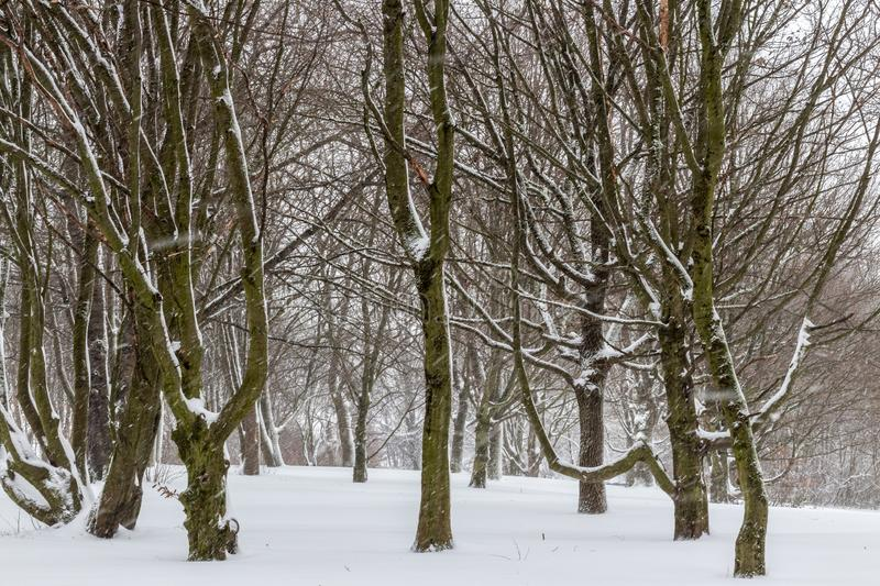 Many trees in winterland with snow and snowflakes.  royalty free stock photo