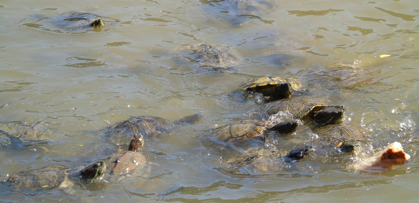 Many turtles swimming towards a piece of bread, animals that eat bread in water, lake stock photography