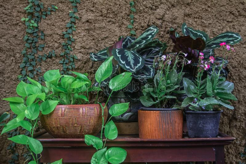 Many indoor trees in pots. Placed on a wooden table in the garden of a cafe. royalty free stock photography