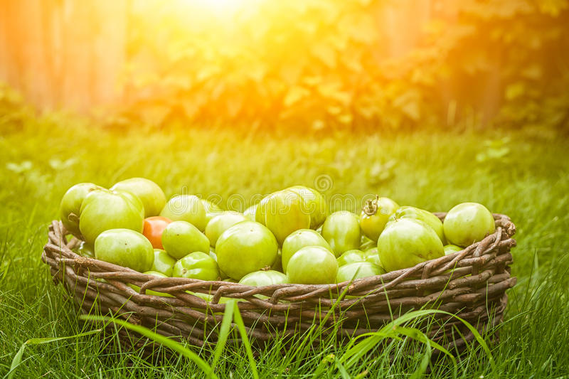 Many unripe tomatoes royalty free stock images