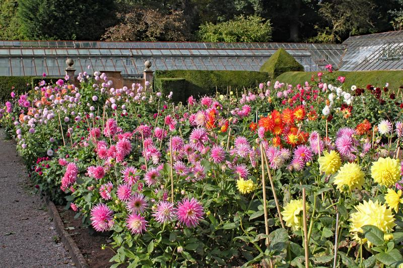Many varieties of dahlia growing in an English country garden stock photo