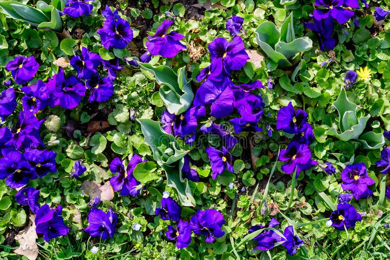 Many vivid blue colored pansies or Viola Tricolor flowers in a sunny spring garden, beautiful outdoor floral monochrome background. Photographed with soft focus stock photos
