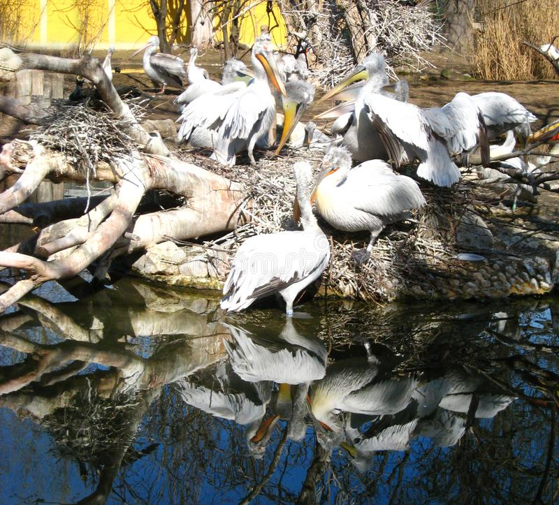 Many white black pelicans with yellow beaks are reflected in the deep blue water stock image