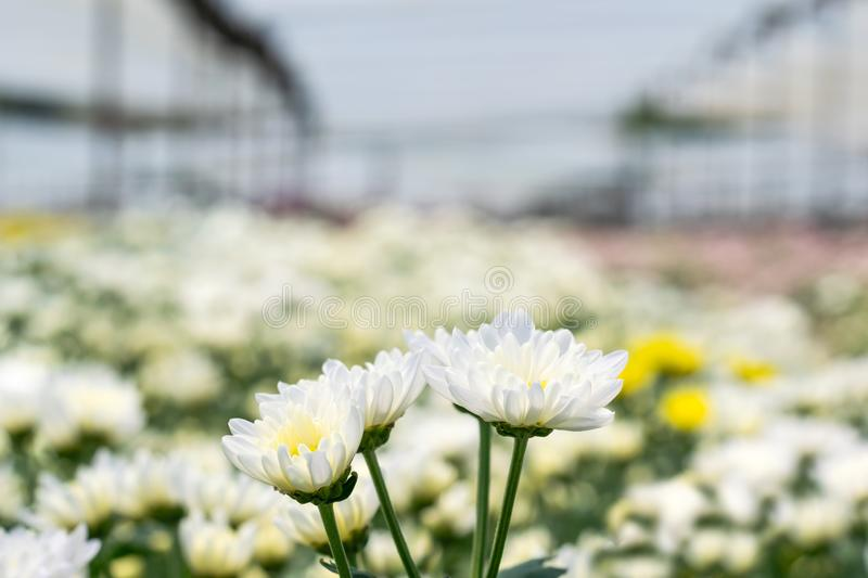 many white Chrysanthemum flower in field royalty free stock images