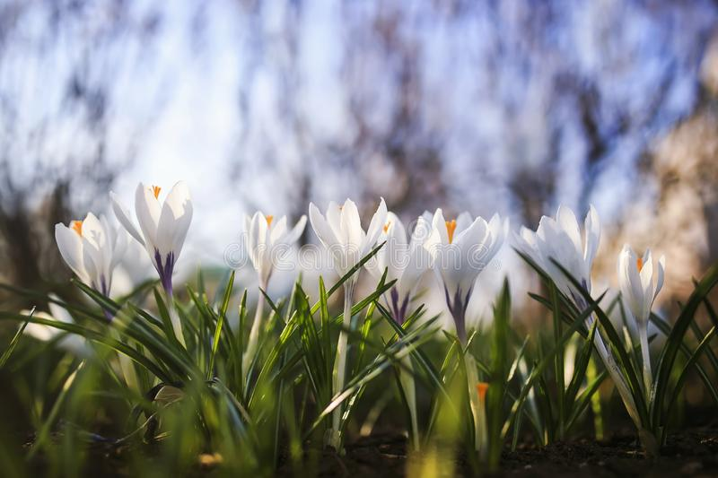 Many white delicate flowers of snowdrops crocuses blossomed under the warm spring rays in the Park. White delicate flowers of snowdrops crocuses blossomed under stock photo