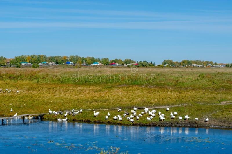 Many white domestic geese bathe and swim in a small pond near a wooden bridge against the background of trees and green fields nea. R the houses of the village royalty free stock image