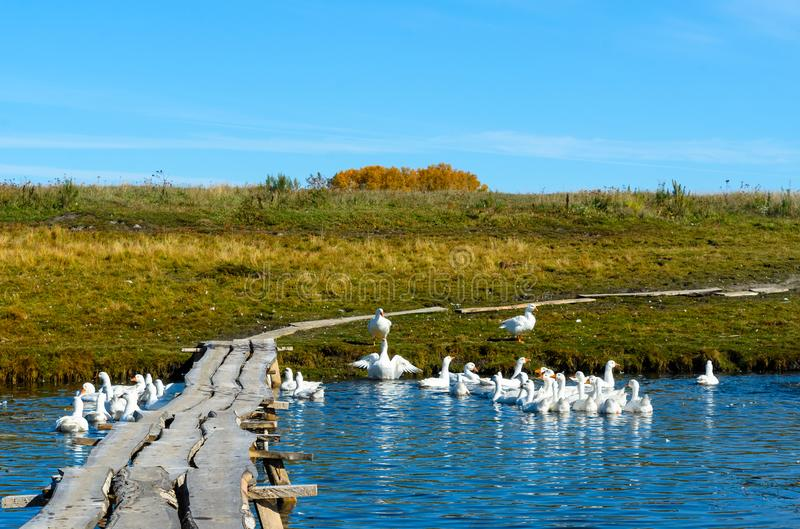 Many white domestic geese bathe and swim in a small pond near a wooden bridge. stock photography