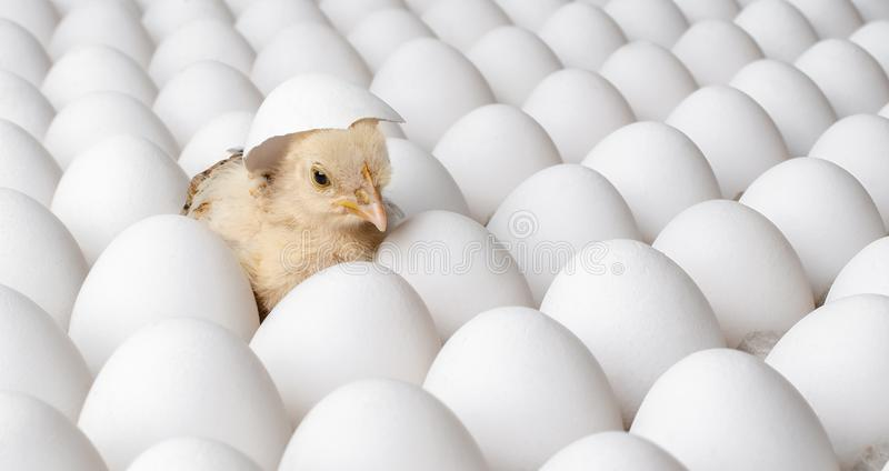 White eggs and one egg hatches chicken stock photography