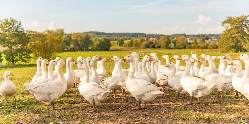 Many white fattening geese on a meadow. A lot of  white fattening geese on a meadow royalty free stock photography