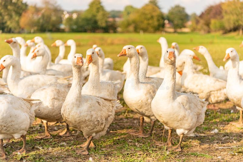 Many white fattening geese on a meadow. A lot of  white fattening geese on a meadow stock image