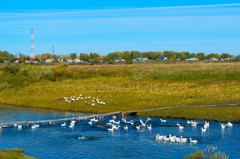 Many white goose flocks swim, stand and bathe flapping their wings on the green grass by a small river and a wooden bridge. On the background of the forest with stock photos