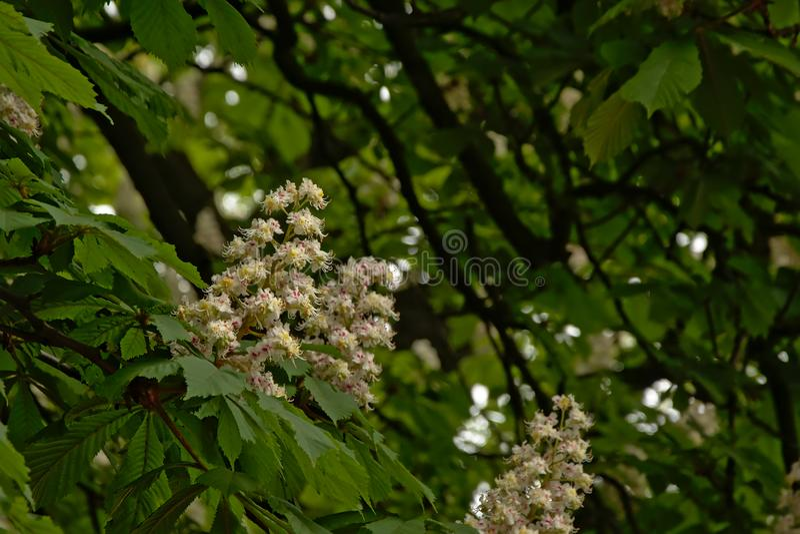 Many white horse chestnut flowers - Aesculus hippocastanum stock photo