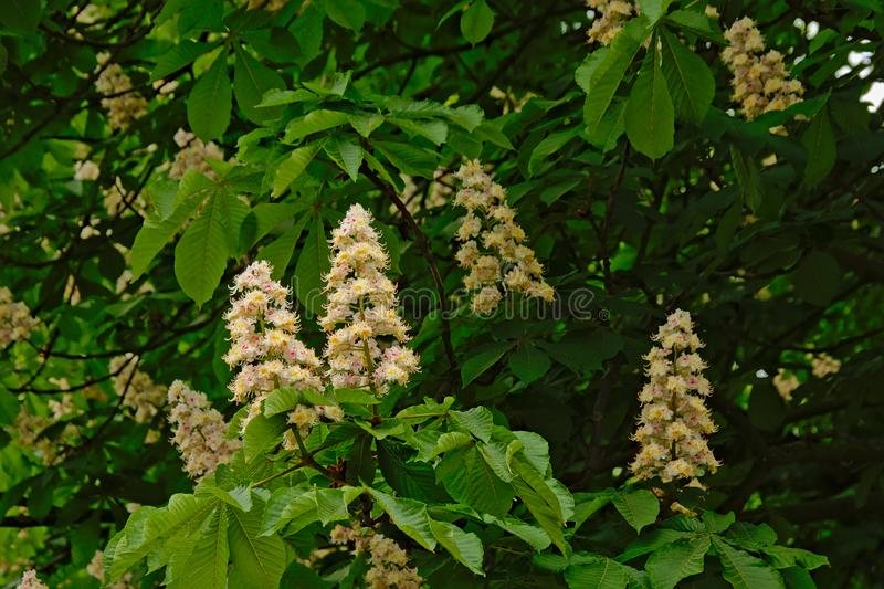 Many white horse chestnut flowers and leafs - Aesculus hippocastanum royalty free stock images