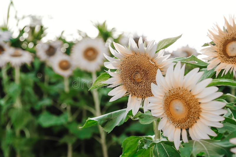 Many white sunflowers field in green leaves. Low vibrance colors.  stock photography