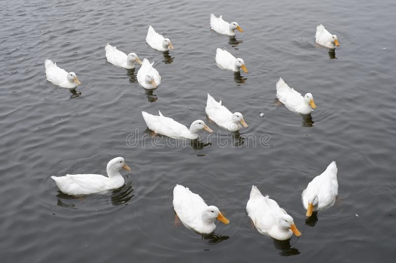 Many white swans swimming in lake royalty free stock photo