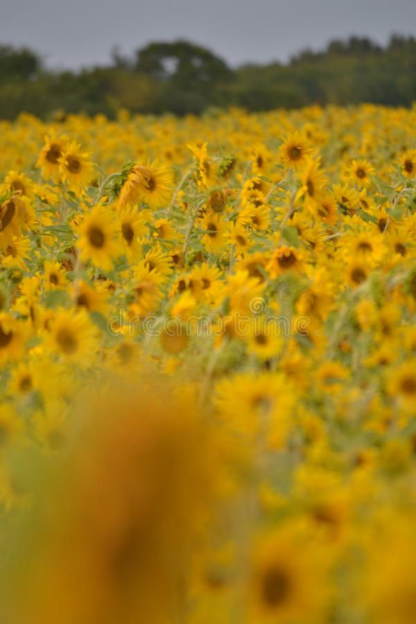 Many yellow, bright sunflowers grow in a green field. Yellow flowers. Blurred background. Harvest concept stock photography