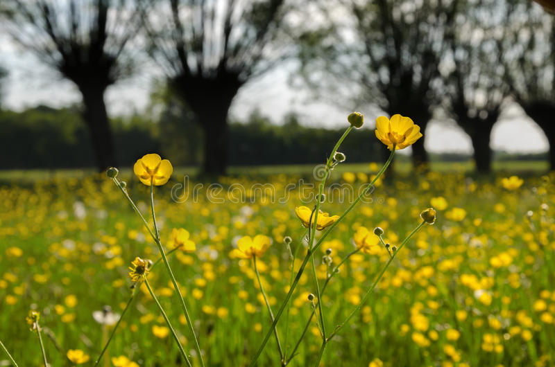 Many yellow flowers, buttercup in spring blooming meadow. stock images