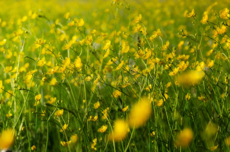 Many yellow flowers, buttercup in spring blooming meadow. royalty free stock photos