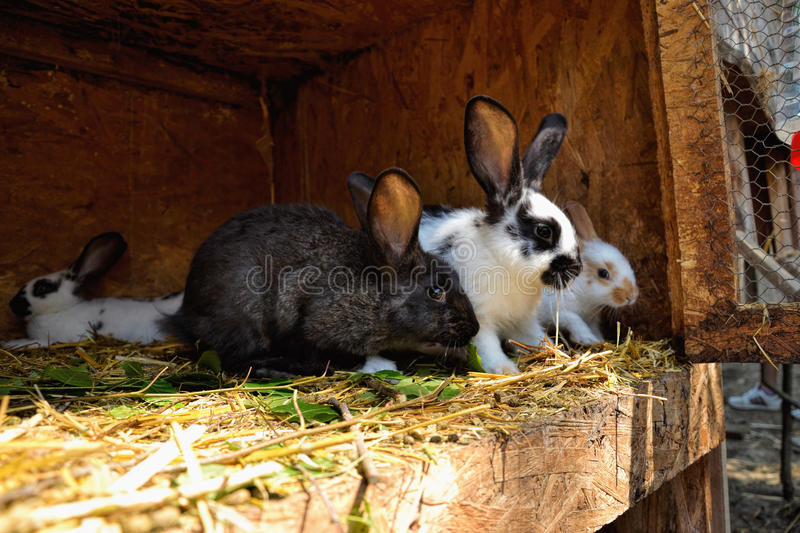 Many young bunnies in a shed. A group of small rabbits feed in barn yard. Easter symbol royalty free stock images