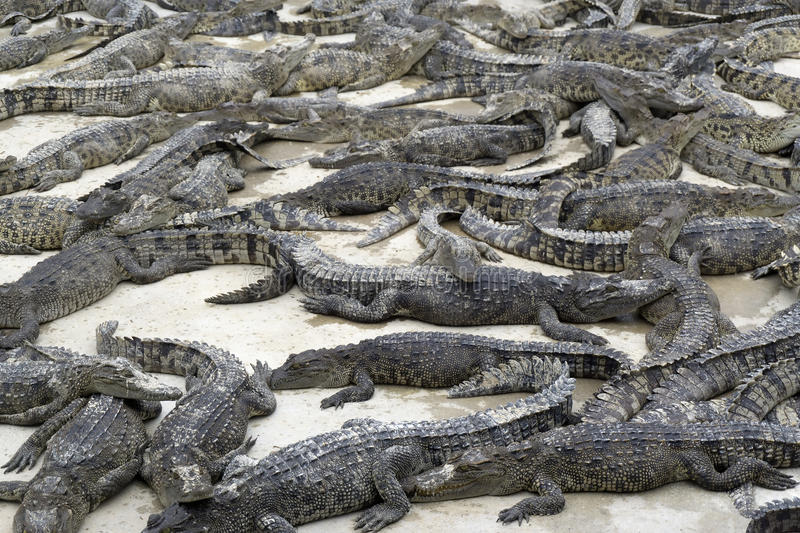 Many young crocodiles lies royalty free stock photography