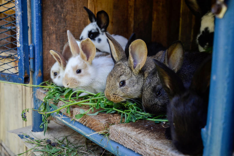 Many young sweet bunnies in a shed. A group of small colorful rabbits family feed on barn yard. Easter symbol.  stock photography