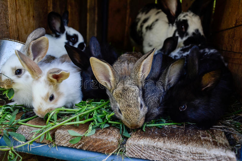 Many young sweet bunnies in a shed. A group of small colorful rabbits family feed on barn yard. Easter symbol.  royalty free stock photo