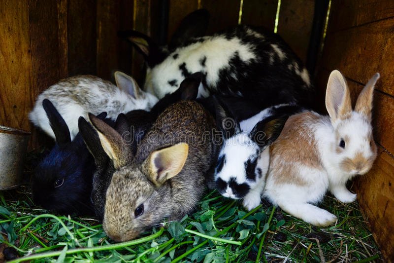 Many young sweet bunnies in a shed. A group of small colorful rabbits family feed on barn yard. Easter symbol.  stock photo