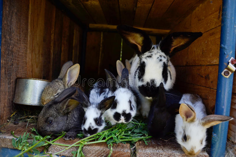 Many young sweet bunnies in a shed. A group of small colorful rabbits family feed on barn yard. Easter symbol.  stock images
