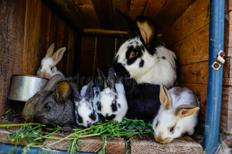 Many young sweet bunnies in a shed. A group of small colorful rabbits family feed on barn yard. Easter symbol.  royalty free stock images