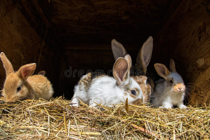 Many young sweet bunnies in a shed. A group of small colorful rabbits family feed on barn yard. Easter symbol.  royalty free stock photography