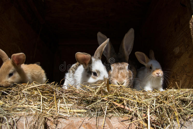 Many young sweet bunnies in a shed. A group of small colorful rabbits family feed on barn yard. Easter symbol.  royalty free stock image